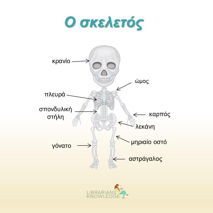 Ο σκελετός